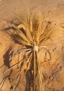 world of seeds landrace